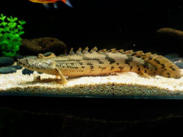 Zippo Saddled Bichir Endlicheri Fish Monster Fish 2002 Promo Toko Zippo Nyenius